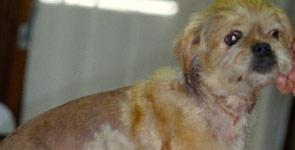 bösartiger tumor hund